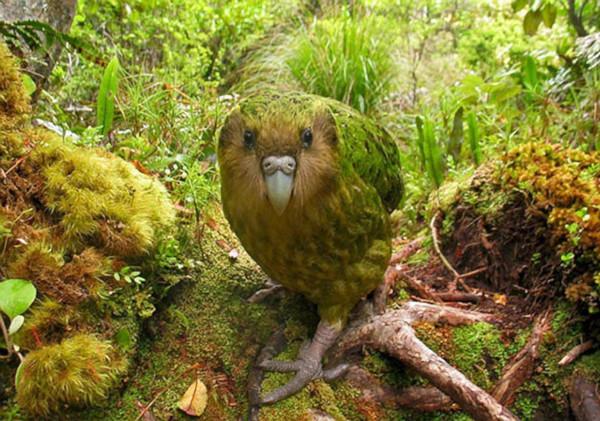 птицы, природа, попугай, какапо, палеонтология, Новая Зеландия