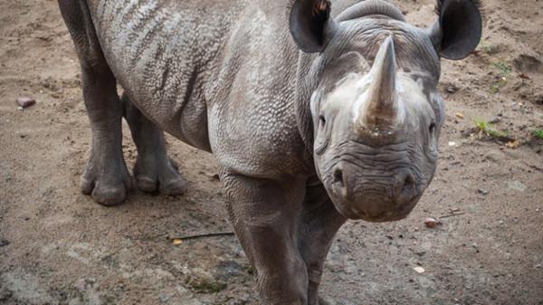 животные, дикие животные, носорог, зоопарк, Голландия