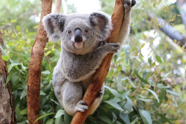 животные, дикие животные, коала