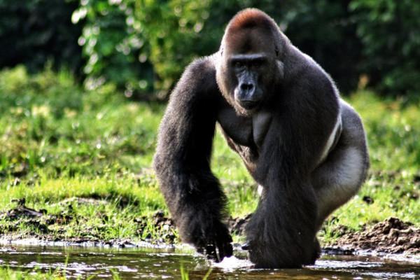 биология, обезьяна, эволюция, мозг