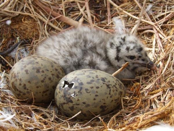 птицы, чайки, яйца, эмбрион, страх