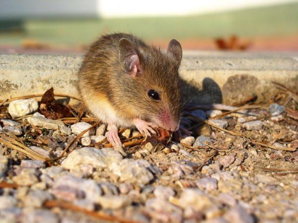 древние мыши, ученые, зубы, расселение