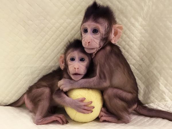 биологи, генетики, ученые, опыты, эмбрион, человек, обезьяна, Китай
