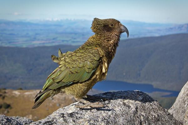 природа, экология, птицы, Новая Зеландия
